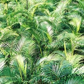 Cane Palms (Chrysalidocarpus Lutescens)