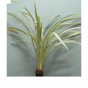 Ophiopogon Sp. (Miscanthus)