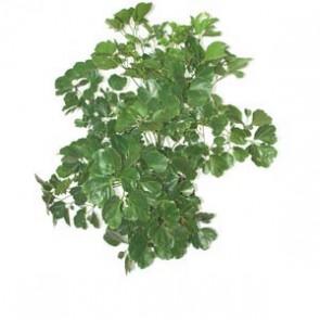 Polycias Gulifolia