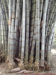 Sadaharitha Una Arana - Bamboo Park